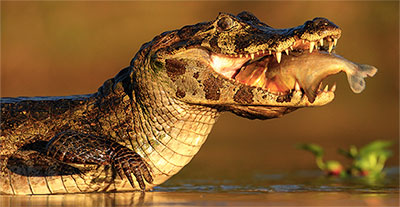 croc eating fish