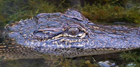 photograph of alligator in pond.