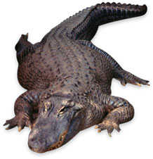 Free Alligator Animations Alligator Clipart