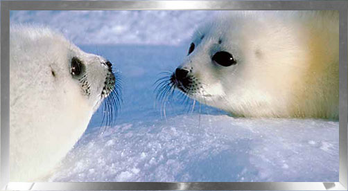 two baby seals