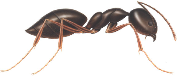 Animated Ants - Ant Cl...