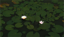 pond with flower 640x480