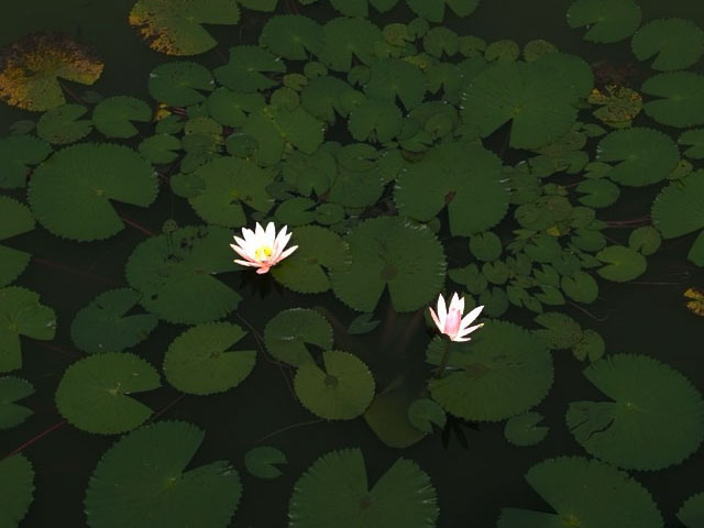 flowers on a pond background