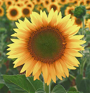 large sunflower in field
