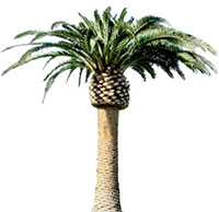 large palm tree
