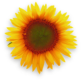 Sunflower Yellow Flower Spinning