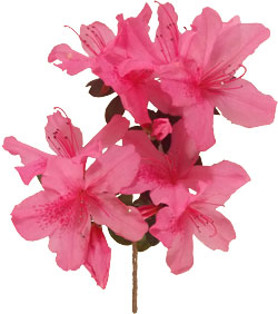 Free flower clipart flower pictures spring azaleas mightylinksfo Image collections