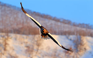 eagle flying image