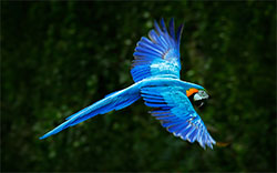 parrot in flight image