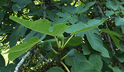 fig tree background